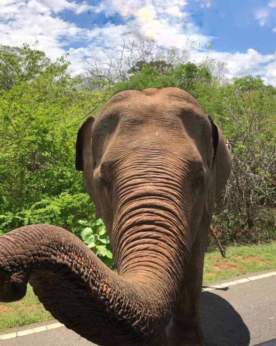 Elefante salvaje en Sri Lanka