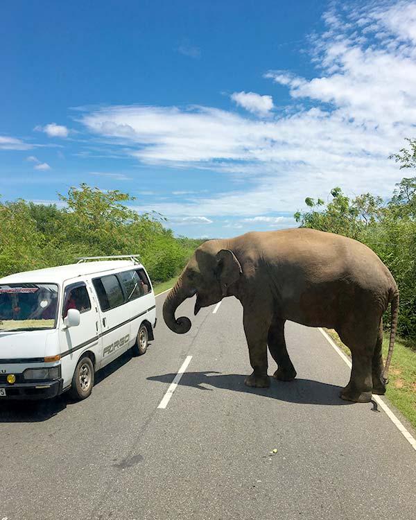 Dar comida a elefantes salvajes en Sri Lanka